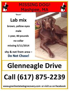 "Missing in Mashpee, MA – ""Bruin"" is a male Chocolate Lab mix with yellow eyes, 1 year old, 80 pounds, not wearing a collar. Bruin is shy and is not from the area – Do Not Chase! Missing since 5/11/2014 near Glenneagle Drive. He has been seen in the area, but has not been willing to be caught yet. Please share Bruin's flier. Call (617) 875-2239 or (617) 480-9328 with sightings"