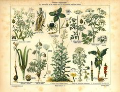 Poisonous Plants Vintage Chromolithograph Botanical by carambas I prolly won't plant these though....