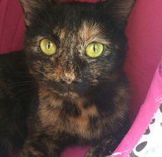 Meet Callie! She is a loving and cuddly cat that will lay in your lap all day! #catscradle #adopt