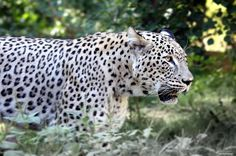 Different Types Of Leopards
