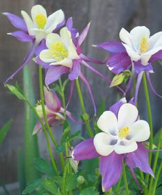 Columbines (Aquilegia).  Once and always my very favorite flower.