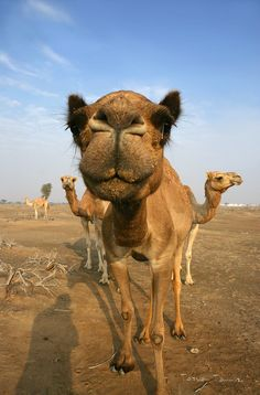 Camels in Dubai. This made me smile :)