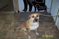 Meet Jabba, a Petfinder adoptable Labrador Retriever Dog | Lewisburg, TN | Lewisburg Animal Shelter300 WoodsideLewisburg TN...