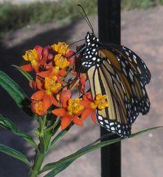 Butterfly Gardening the Tenerife Way