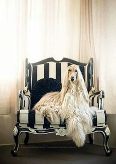 best images, photos and pictures ideas about afghan hound dog - oldest dog breeds Big Dogs, Dogs And Puppies, Doggies, Doggie Beds, Beautiful Dogs, Animals Beautiful, Hound Dog Breeds, Love My Dog, Photo Animaliere