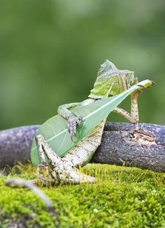 Just a dragon lizard chillaxin' while gently strumming his leaf guitar.  According to Indonesian photographer Aditya Permana, he didn't manipulate the lizard in order to capture this shot. It was a once-in-a-lifetime photograph and he captured the lizard doing its thing just at the right moment.