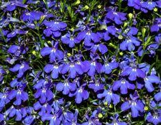 lobelia planta perenne que es muy resistente estas plantas de exterior son de larga