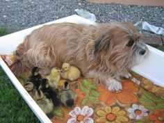 Maggie and ducklings