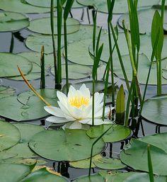 Water lilly (Buddha)