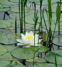 .water lily