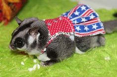 Sugar Gliders Love to Shop at Critter Love®!! Looking for healthy ...