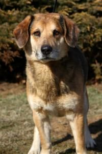 URGENT- EUTH ALERT-LANCE IN GASSING SHELTER - Shepherd Mix  Young • Male • Medium For The Love Of Dogs Downingtown, PA