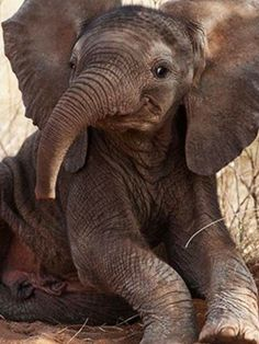 Smiling Baby Elephant Picture Enlarges