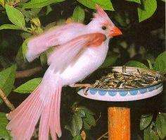 a rare albino cardinal bird seen at a bird feeder in Florida