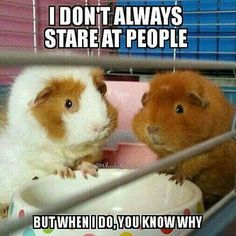 Image result for Funny Guinea Pigs