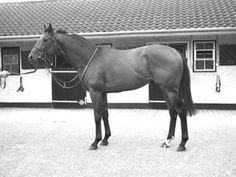 """Thong(1964)(Filly)Nantallah- Rough Shod II By Gold Bridge. 3x5 To Blandford, 5x5 To Sir Gallahad III & Orby. 22 Starts 5 Wins 4 Seconds 5 Thirds. $50,036. 2nd Alcibiades S, 3rd Golden Rod S, Selima S. Very Influential Broodmare Who Was A Known Carrier Of The """"Big Heart"""" As Several Of Her Sons And More Important Her Daughters Displayed This Characteristic And Passed It On To Their Foals."""