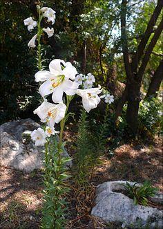 Lys blanc pour agrémenter le jardin du Cancer.