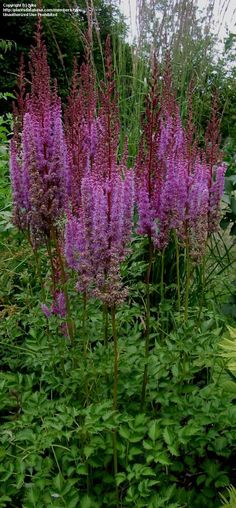 Chinese Astilbe 'Purpurkerze' (syn. 'Purple Candles')  (Astilbe chinensis)