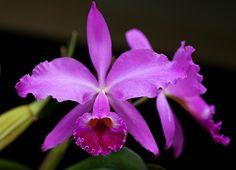 Cattleya jenmanii 'Eileen'