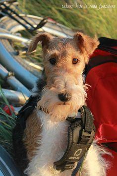 Wire fox terrier-very smart dog.