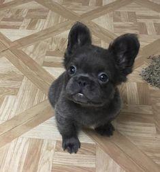 Long Haired French Bulldog, Baby French Bulldog, Merle French Bulldog, Black French Bulldogs, Funny French Bulldogs, Blue Brindle French Bulldog, Miniature French Bulldog, French Bulldog Breeders, Funny Bulldog