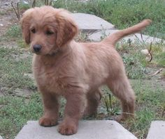 coker spaniael golden retriver mix! full grown this size forever! Meet my future puppy!!