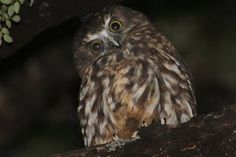 Which Species Are Nocturnal Birds?: Owls are the most familiar and common nocturnal birds.