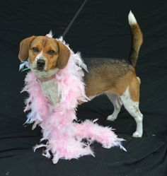 Kathy Bates is a Beagle about 2-3 years old that was brought in as a stray through Animal Control. She is a friendly girl and gets along well with other dogs.This is a courtesy post for a local shelter that TLC supports, Humane Society of Cedar...