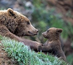 is for CUTE & DANGEROUS animals that would KILL you if they had the chance! Mother And Baby Animals, Cute Baby Animals, Bear Pictures, Cute Animal Pictures, Bear Photos, Nature Animals, Animals And Pets, Wildlife Nature, Photo Animaliere