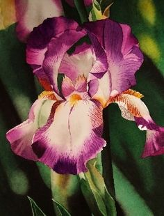 Purple and White Iris - Watercolor, painting by artist Jacqueline Gnott
