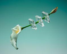 Цветы и лед в фотопроекте Паломы Ринкон « FotoRelax