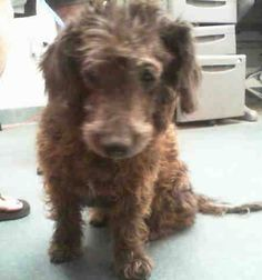 SAFE --- LADY (A1028973) I am a spayed female black Poodle - Miniature.  The shelter staff think I am about 7 years old.  I was found as a stray and I may be available for adoption on 04/09/2015. —  Miami Dade County Animal Services. https://www.facebook.com/urgentdogsofmiami/photos/pb.191859757515102.-2207520000.1428106268./955734331127637/?type=3&theater