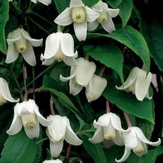 This superb evergreen clematis bears its delicately fragrant, waxy, bell-shaped flowers in the depths of winter. The foliage is so lush, that you'll think its summertime all year round! Plant Clematis 'Winter Beauty' against a warm house wall so that y Winter Plants, Winter Flowers, Winter Garden, Clematis Plants, Clematis Vine, White Clematis, Garden Shrubs, Garden Plants, Pot Plants