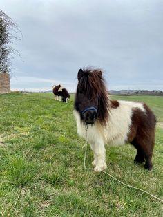 Mini Shetland, Horses, Animals, Animales, Animaux, Animal, Animais, Horse