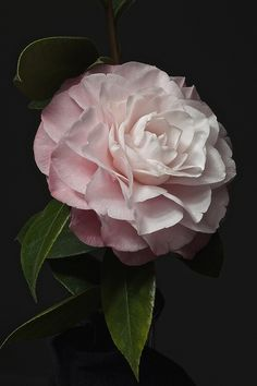 Camelia:  my favorite flower. Indigenous to the South.  Must have in my garden and on the front lawn.