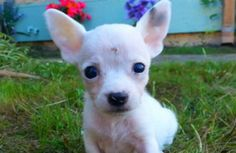 12/27 ADOPTED! :) 12/11/15 At just one pound, Rocky may be small, but he has a big heart. Born deaf with a hole in his skull, he's a survivor who's needing a forever home. Rancho Santa Fe, CA