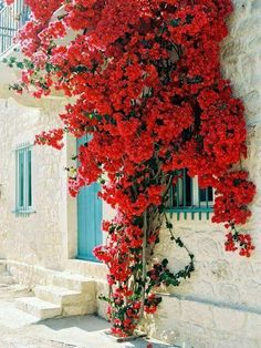 Lovely red bougainvillea growing up against a stone buliding.