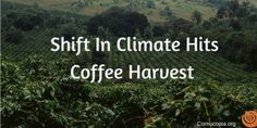 Coffee drinkers may reasonably expect production and market demand to shift as coffee country grows drier and warmer. Coffee farmers are losing crops, and sometimes trees, forcing them to consider new livelihoods. Coffee Drinkers, Farmers, Trees, Weather, Country, Rural Area, Homesteads, Home Decor Trees, Wood