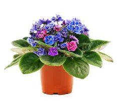 Flora, Planter Pots, Violets, Plants