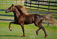 RdJ' rocky mountain horse