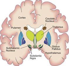 El Cerebro del Siglo XXI: Ganglios Basales