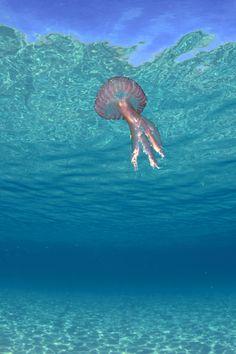 Jellyfish Pelagia by Xavier Mas