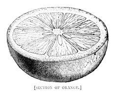 Vintage Orange Fruit Botanical Illustration Retro Graphic
