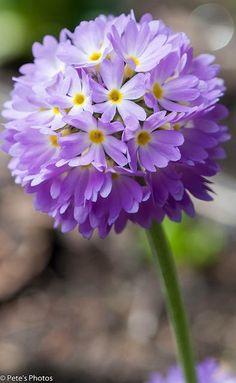 Primrose Flowers Gar