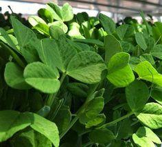 How to Grow Herb Microgreens and Other Plants  http://www.amazon.com/Root-Assassin-Shovel/dp/B00KAGXUT2/ref=sr_1_26?ie=UTF8&qid=1426540866&sr=8-26&keywords=shovels