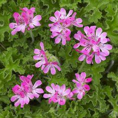 Leaf scented Pelargonium Capitatum Pink