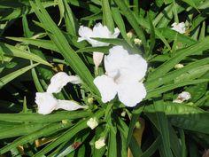 Image result for white katie ruellia
