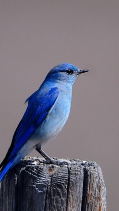 The absolute beauty of a Mountain Bluebird