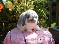 Show Rabbits For Sale