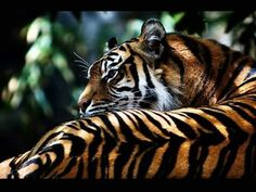 Sumatran Tiger resting in the shade. 'Sumatran Tiger' On Black Large View Beautiful Cats, Animals Beautiful, Cute Animals, Wild Animals, Mundo Animal, My Animal, Big Cats, Cool Cats, Animal Pictures